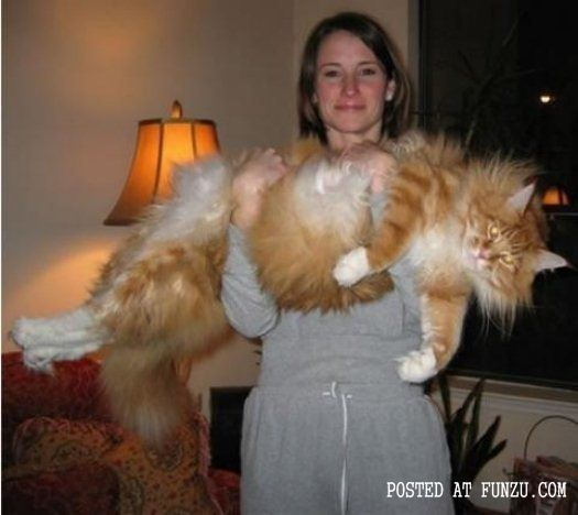 worlds biggest cat huge cat pictures