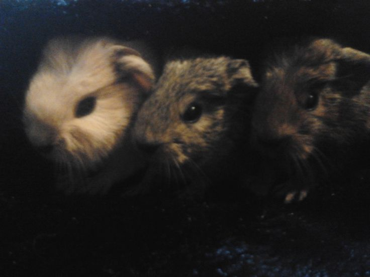 Baby Guinea Pigs (Born 4th August 2016)