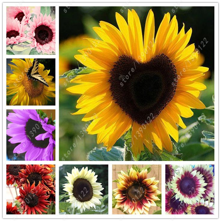 40 pcs/bag sunflower seeds,sunflower seeds for planting,bonsai flower seeds,10 colours,Natural growth for home garden planting -  http://mixre.com/40-pcsbag-sunflower-seedssunflower-seeds-for-plantingbonsai-flower-seeds10-coloursnatural-growth-for-home-garden-planting/  #Bonsai