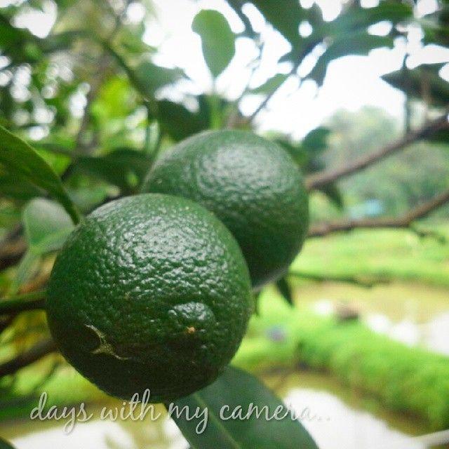 #panen #jeruk dari pagi.. masih banyak yang tersisa.. #jeruksambal #calamansi
