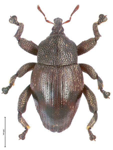 Trigonopterus merubetirensis ist ausschließlich aus dem Meru Betiri...