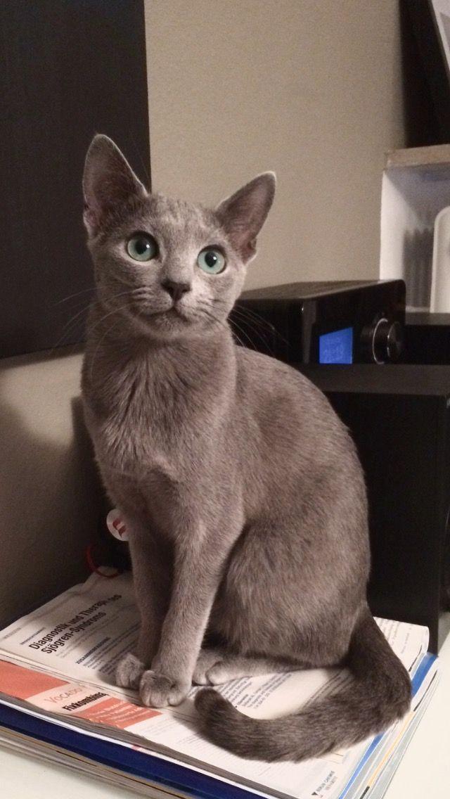 Ivy My Loyal Russian Blue 8 Month Russianbluecat Russian Blue Russian Blue Cat Grey Cats