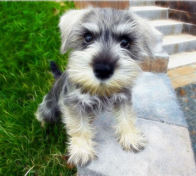 The Little Miniature Schnauzer my gmas puppy literally looked like this :(