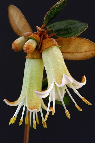 How beautiful is this Correa backhouseana. Australian beauty is loved at Gum Tree Lane Essential Oils
