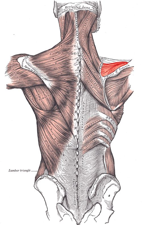 Supraspinatus Muscle - highlighted in red.  This is where my shoulder pain is at.  It hurts more when I lean on my elbow.