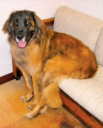 Silly Leonberger. Big Dogs Who Think They're Small