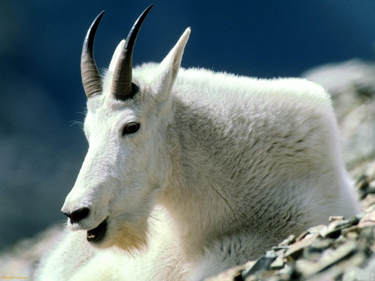 Image Detail for - Download North American Wildlife wallpaper, 'Mountain Goat Montana'.