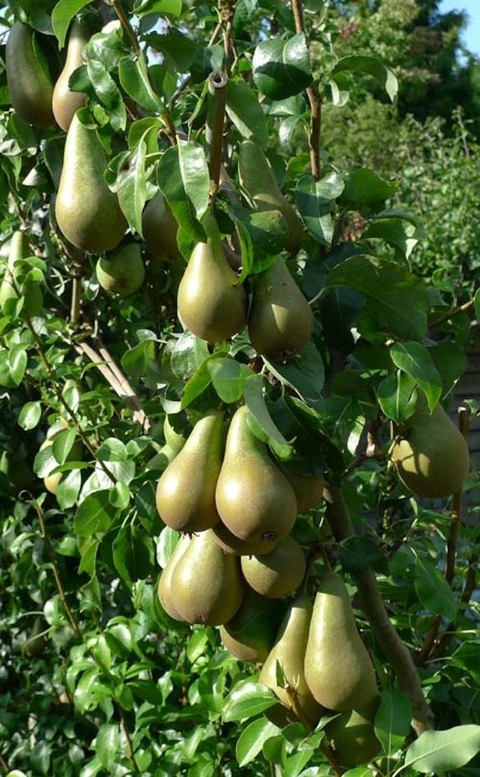 Shinko asian pear edible landscaping - 5 Favorites Espaliered Fruit Trees