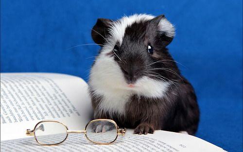 Guinea Pig loves books
