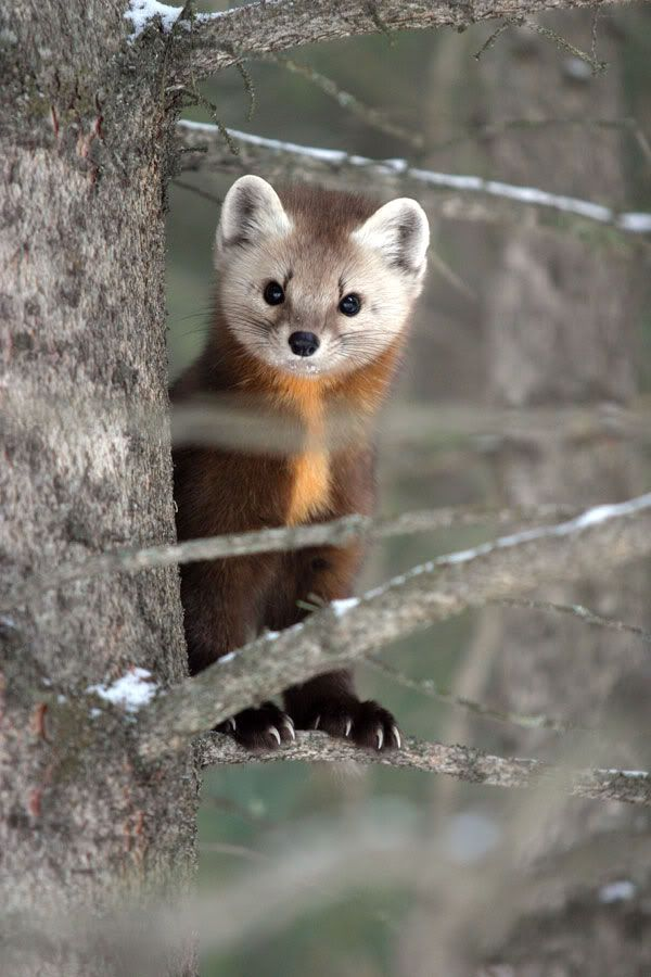 Young Scottish Pine Marten :) -wee cutie