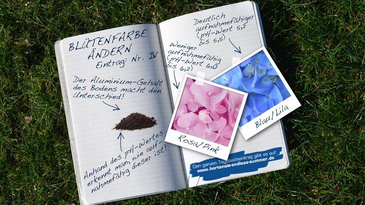 Blütenfarbe ändern - Hortensie Endless Summer