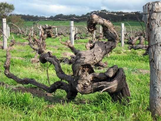150 year-old Shiraz vines, Henschke Hill of Grace, Australia.