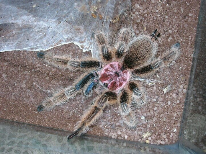 Chilean rose hair tarantula... this is the very breed that my tarantula is! Ain't she beautiful?