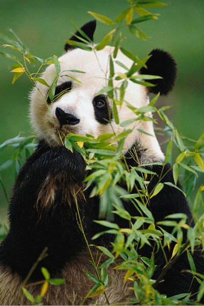 Adorable giant panda eating bamboo