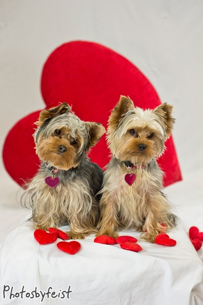 1000 images about valentine yorkies on pinterest - Valentines day pictures with puppies ...