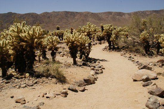 1000 images about joshua tree on pinterest deserts the - Cholla cactus garden joshua tree ...