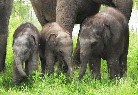 Hannah was born at 232lbs, Gigi was born at 124lbs and Anna May was born at 240lbs. #AfricanLionSafari #Elephants