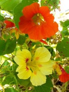 7 flowers to plant in the in the garden for natural pest control.../
