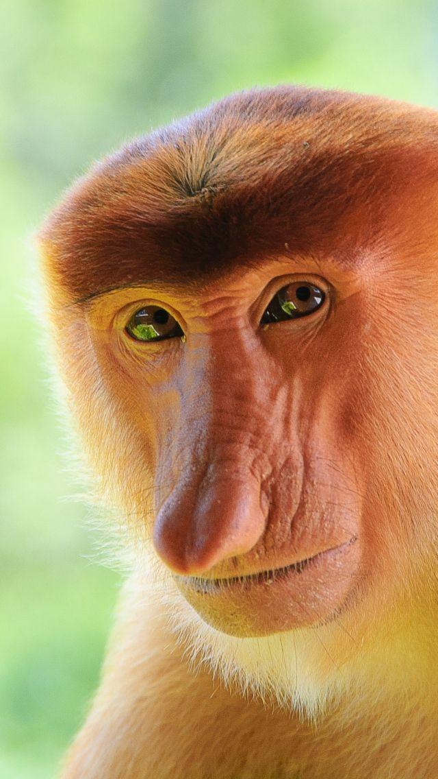 Proboscis Monkey ~ lives only on the island of Borneo