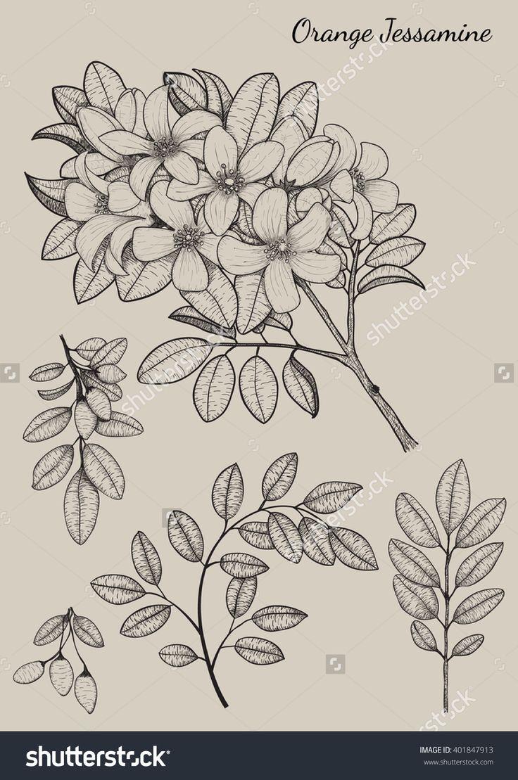 Orange Jessamine Flower By Hand Drawingflower Design Elementsflower  Highly Detailedflower