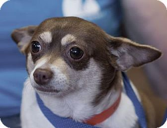 Pictures of Gracie a Chihuahua for adoption in Colorado Springs, CO who needs a loving home.