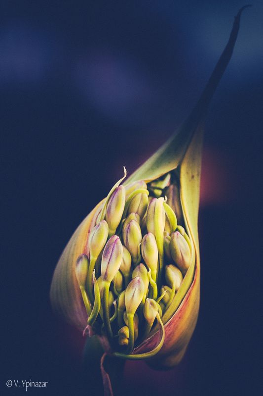 Unfolding: Picture, flower, photograph, picture, agapanthus, bud,