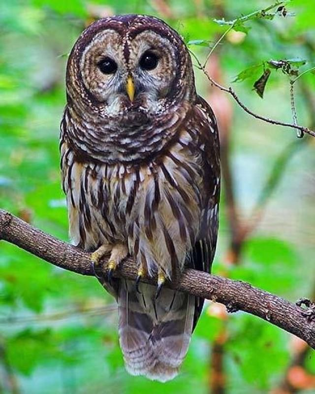 """This is a photo of the original Barred Owl that was photo enhanced to perpetrate the """"rainbow owl"""" hoax.  There is no such thing as a """"rainbow owl"""""""