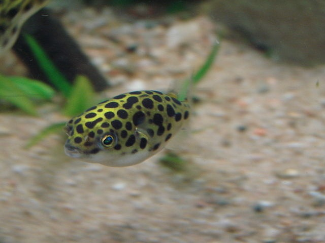 Tips on keeping the green spotted puffer tetraodon for Freshwater puffer fish care