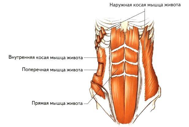 Картинки по запросу поперечная мышца живота фото