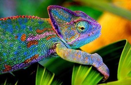 55 Best Images About Chameleons On Pinterest Chameleon