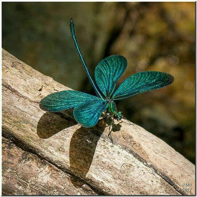 My good luck portent - Iridescent blue damselfly