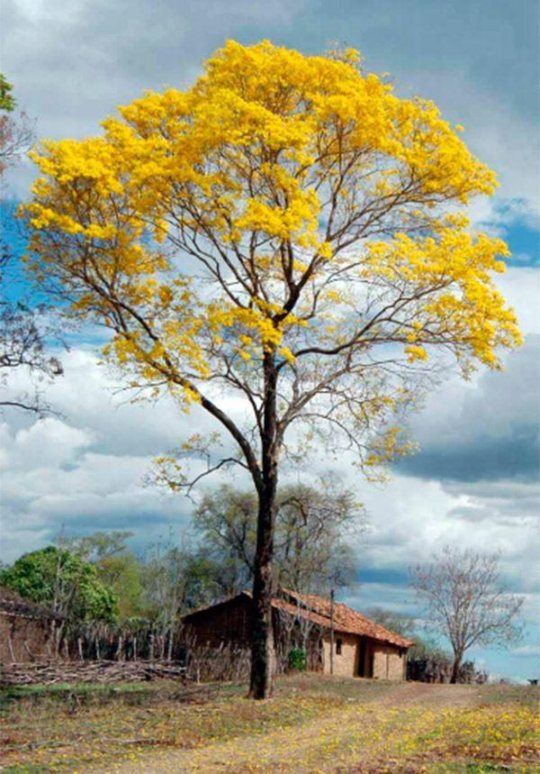 Apesar de não ter estações do ano bem definidas, a florada dos ipês é responsável por anunciar a chegada da primavera no Piauí.