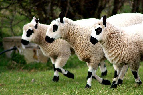 On the run. Kerry Dale sheep