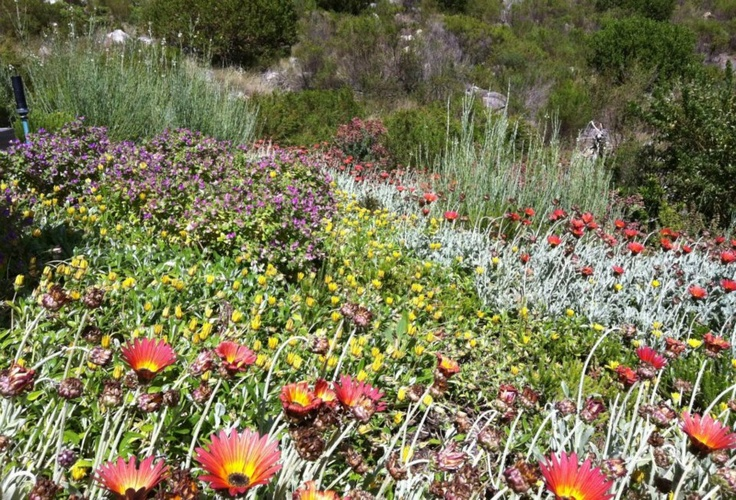 An indigenous mix to cover a bank & retain the soil can also be extremely colourful - Polygala, Arctotis, Gazania & Gomphostigma.