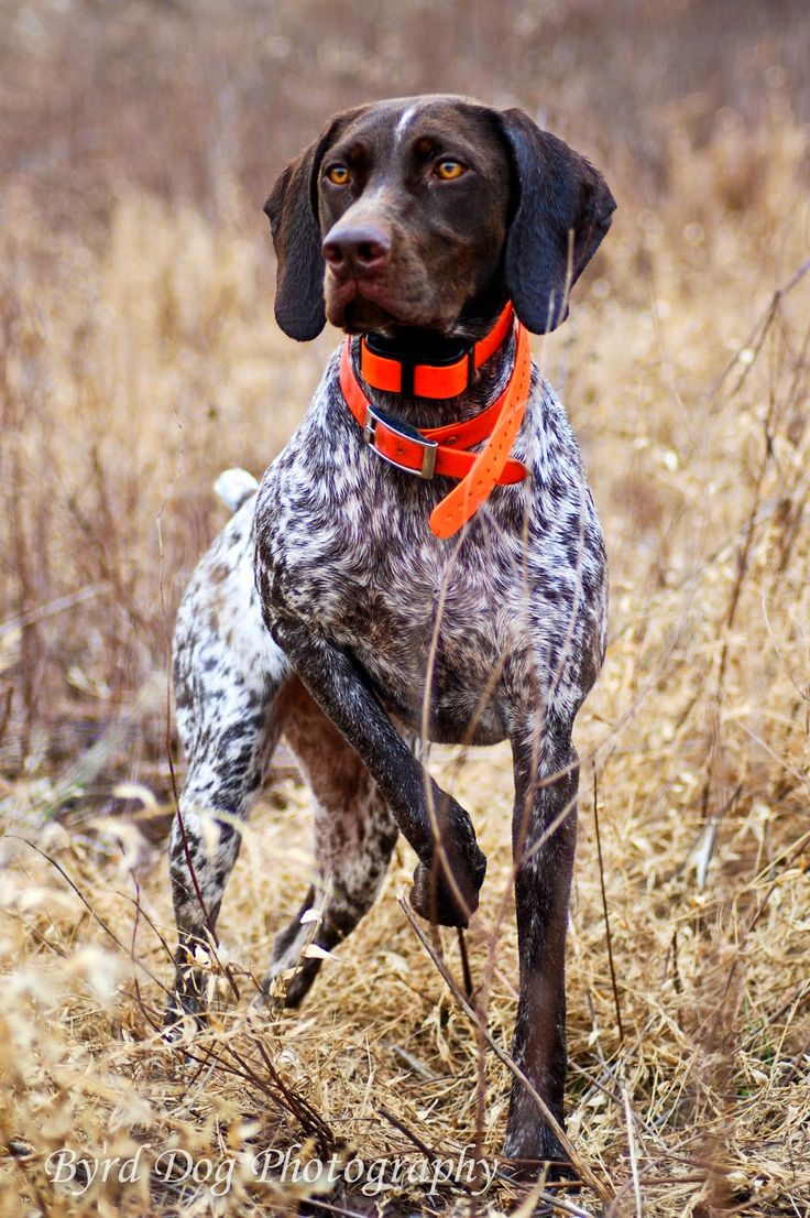 Adventures of a GSP Hunting Dog: Hunting Dog Photography Tips - Part 1