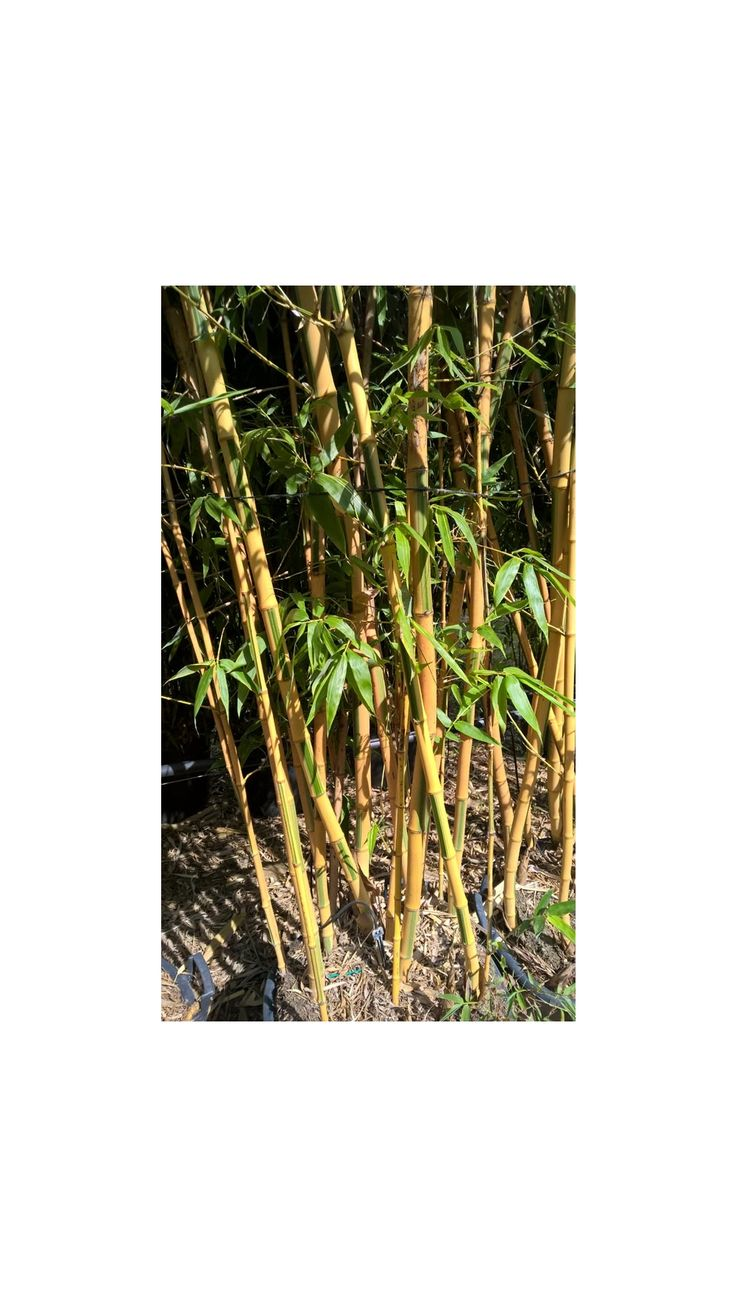 17 meilleures id es propos de bambou en pot sur for Conseil plantation jardin