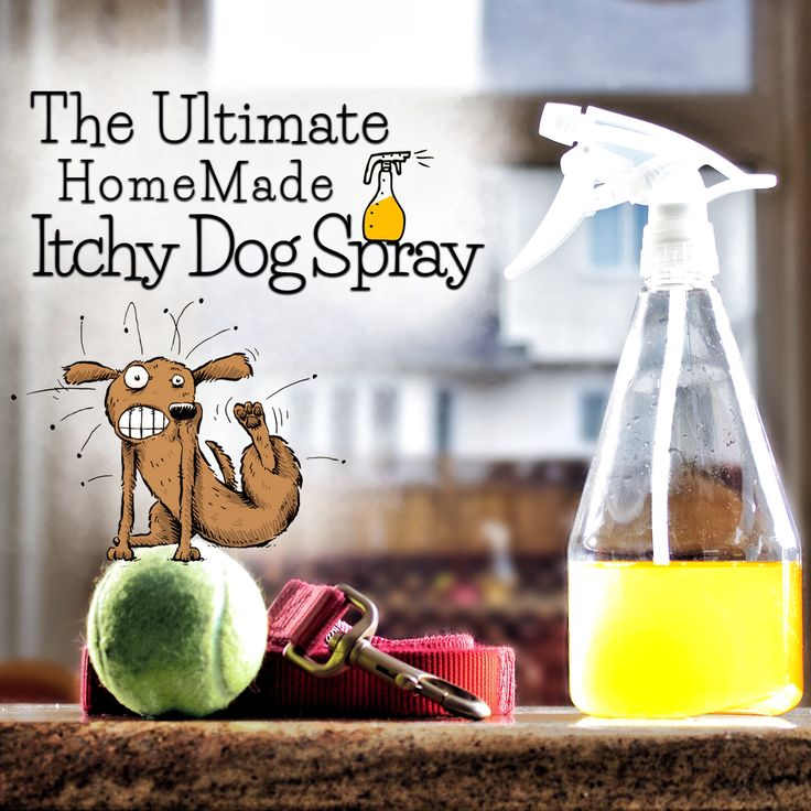 VIDEO: ITCHY DOG? TRY THIS RECIPE FOR SOME RELIEF!  Itchy now or itchy this spring, with the help of Dr. Karen Becker, this new & improved yeast smashing, anti-itch homemade spray for dogs will help them out when they need a quick sense of relief!