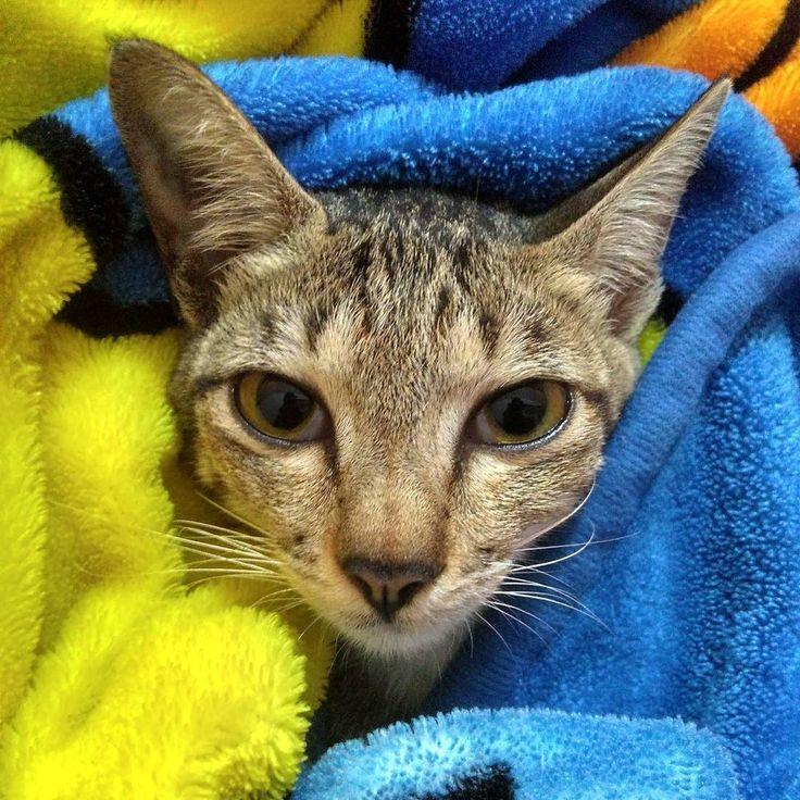 Dia sangat suka tidur di dalam selimut ������ . @catshomeworld @catloversclub @cats_of_instagram . #cat#cats#catloversclub#catlovers#babycat#babycats#cutecat#cutecats#funny#kucing#kucinglucu#bed#animal#animals#animallovers#pecintahewan#hewan#binatang#lovecat#photography#photographer#photograph#anakkucing#like4like#follow4follow#pet#peliharaan http://tipsrazzi.com/ipost/1511797387881763615/?code=BT6-7blDlMf