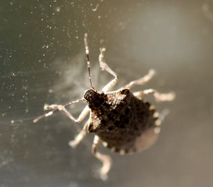 A really good post about Stink bugs.  Keeping them out of the house and products that work in the fight against them.  These critters are bad ones and you don't want them setting up residence in your house.
