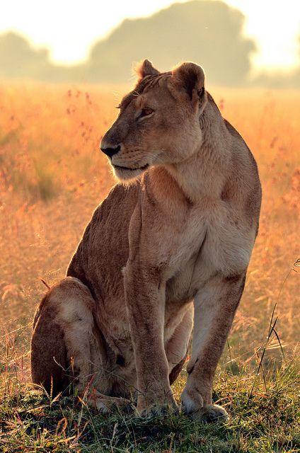 Lioness in Masai Mara, Kenya by flipper2047, via Flickr