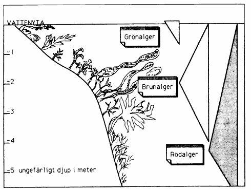 Vad är alger? tidskrift:odlaren, 1991 utgivare:Förbundet organisk biologisk odling