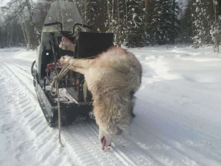 Одинокий волк пойман с. Хадан