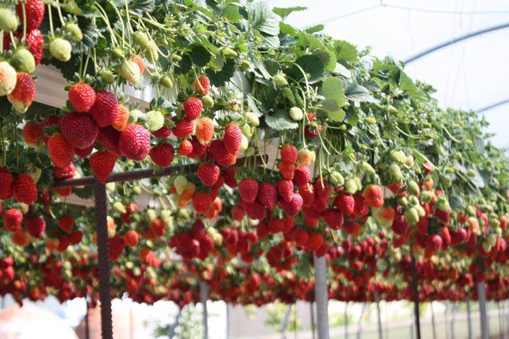 Erdbeeren im Rohr pflanzen – Bauanleitung für ein Erdbeerrohr – Frank Hallmann