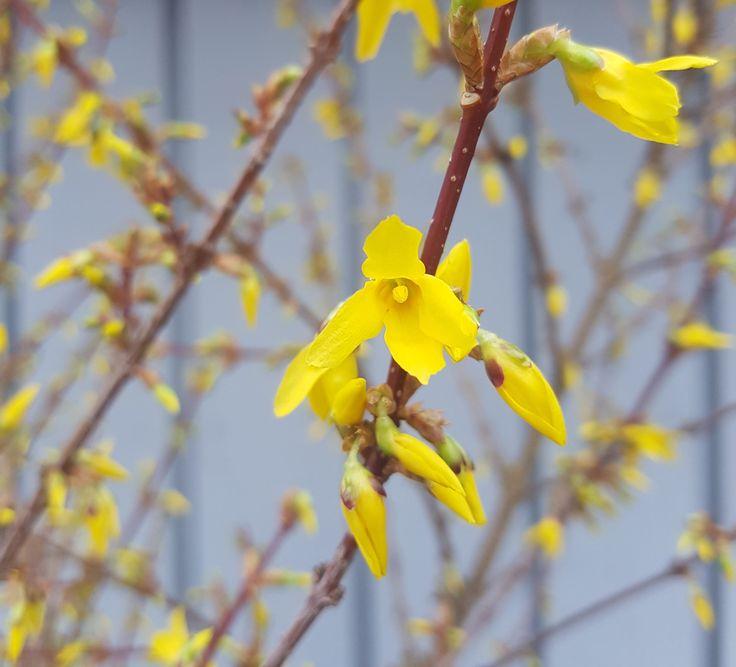 Tjuvstart våren og sett den i vase innendørs