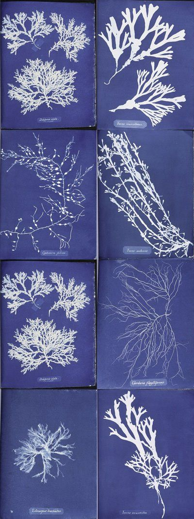 anna atkins 1850s cyanotypes of British algae love anna :)