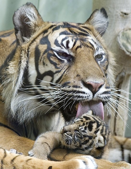Image Result For Baby Sumatran Tigersa