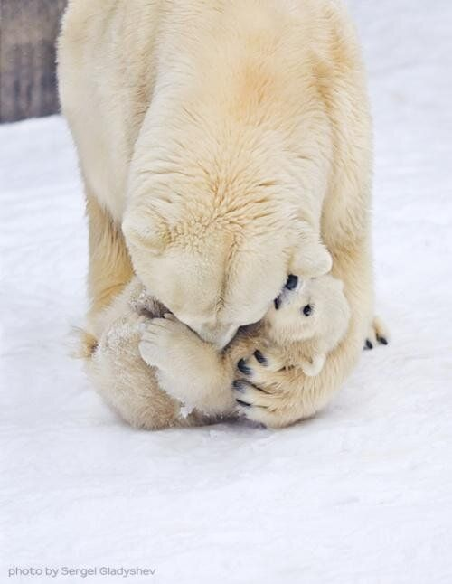A mother polar bear and her cub, cudding