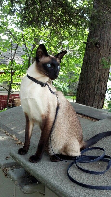 Ziggy walks on a harness. Siamese are very intelligent. ©SMV
