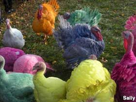 Don't let the colorful turkeys in the driveway confuse or distract you, Gozzi's Turkey Farm provides award-winning, fresh turkeys for your holidays. Open November and December, you can call and reserve your turkey. This is a third generation, family owned and run business that raises its turkeys right here in Guilford. In November, people come from miles around to visit the colored turkeys out front which are quite a sight to see. Gozzi's Turkey Farm definitely stands out from the rest.