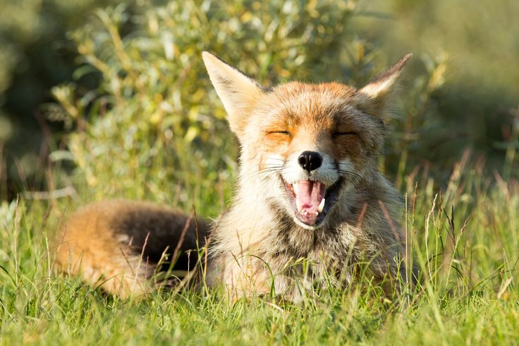 Happy Fox - A smiling fox ;)